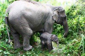 Elph-Maman et son petit en forêt au Laos