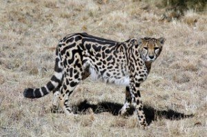 Jung-anim-sauv-Jaguar