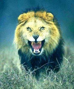 Jung-anim-sauv-Lion colère