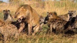 Jung-anim-sauv-lionne en perdition avec les hyènes des charognards