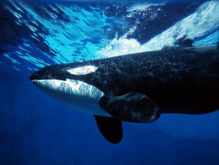 Anim..mar. Mamifères-Orques