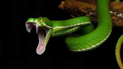 Ani-Serpent,  la gueule ouverte