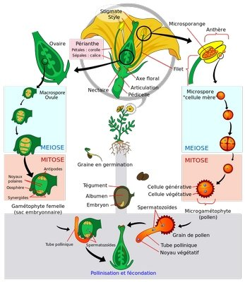 gp-Cycle de la reproduction des angiospermes