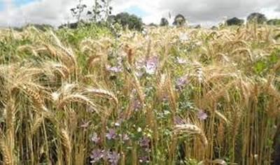 Aucom-Culture du blé au commencement