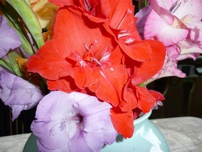 Fleurs-Glaïeul  du jardin