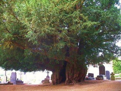 Arbres remarq-If d'Estry, 1600 ans